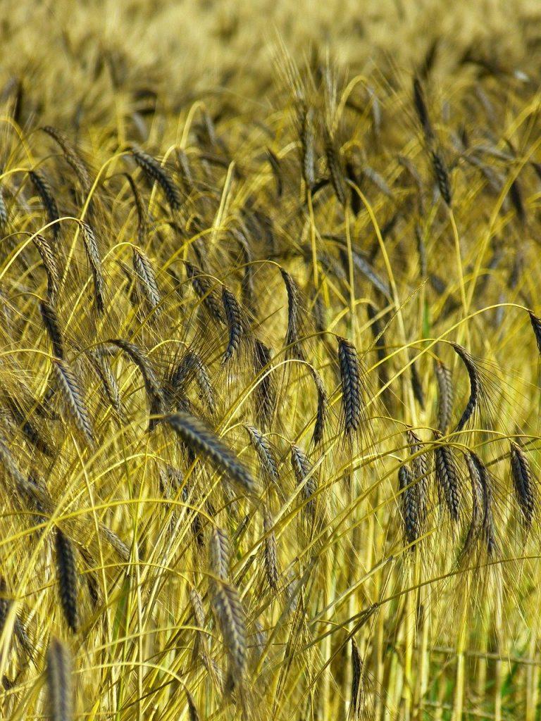 crop, farm, field